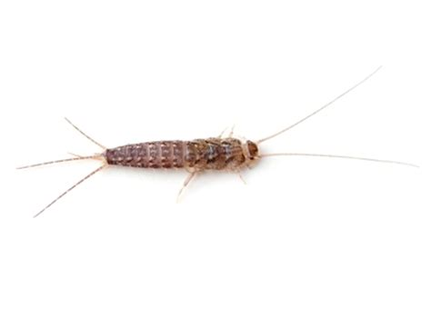 what causes silverfish in bathrooms how did i get silverfish in my house planet orange