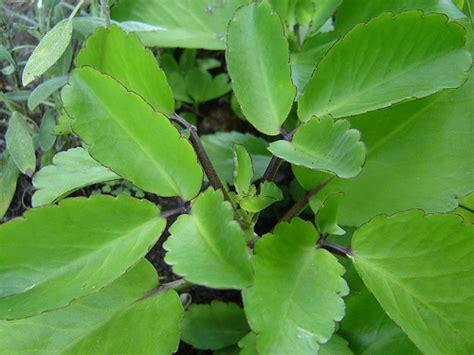 Tanaman Herbal Daun Cocor Bebek Suru Bebek Isi 10 Tunas 2 cocor bebek dan khasiatnya tanaman obat tradisional