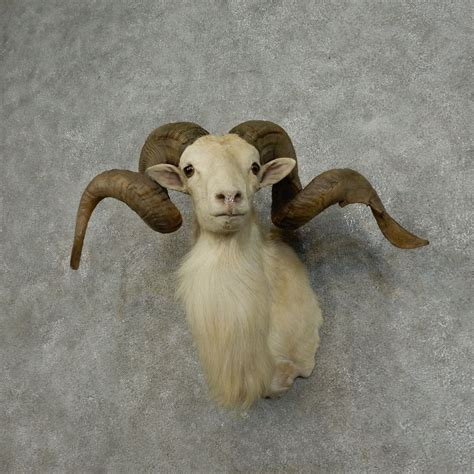 dall ram for sale dall sheep shoulder mount for sale 15080 the taxidermy