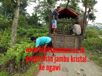 Bibit Durian Bawor Di Jember bibit jambu murah unggul di purworejo jawa