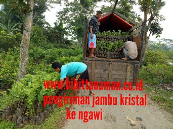 Bibit Jambu Air Jember bibit jambu murah unggul di purworejo jawa