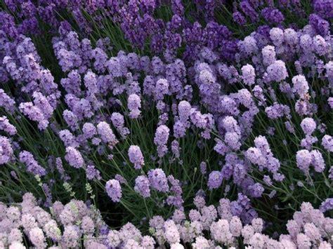 arbusti sempreverdi da giardino pianta sempreverde piante da giardino caratteristiche