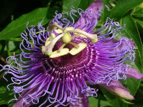 Passion Fruit Flower Tea - passion flower vine viewing gallery