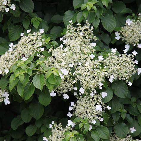 buy climbing hydrangea hydrangea anomala subsp petiolaris delivery by crocus