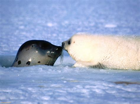 the sea l of harp seal of sea