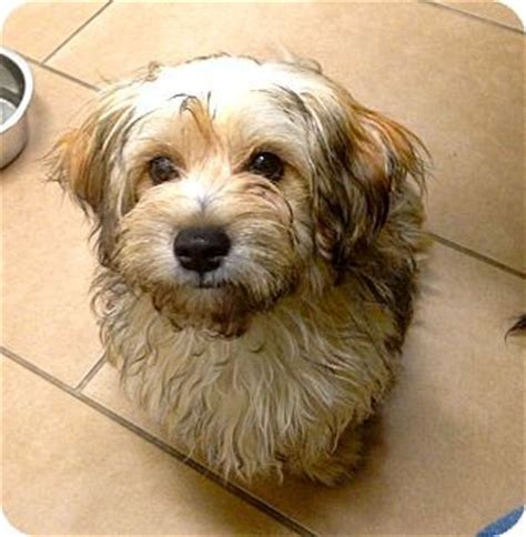 havanese westie mix 1000 images about havashire havanese on yorkie abyssinian cat