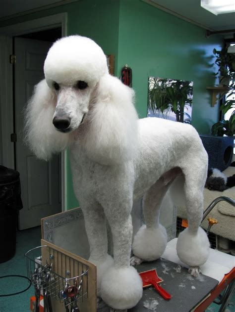 different poodle haircuts miami bikini cut grooming poodle barbone pinterest
