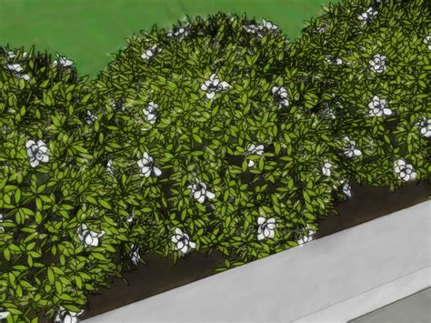 Decorative Trees For Home by How To Grow A Hedge Fence 12 Steps With Pictures Wikihow