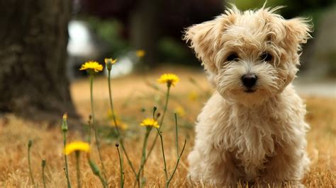 free puppy 30 beautiful wallpapers