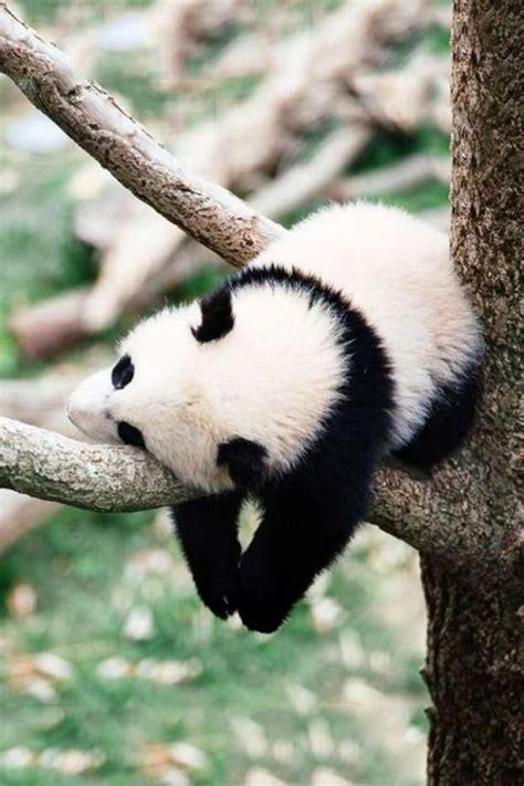 imagenes animales hermosos im 225 genes de animales tiernos fotograf 237 as de osos pandas