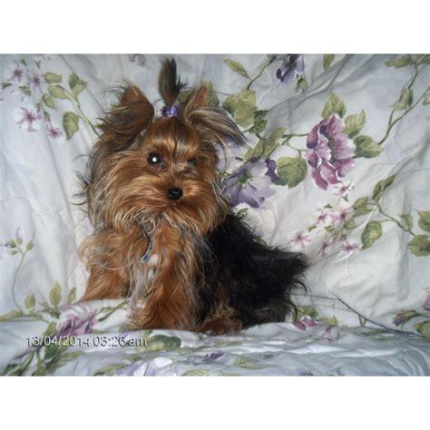 yorkie breeders in missouri puppies for sale terrier yorkie