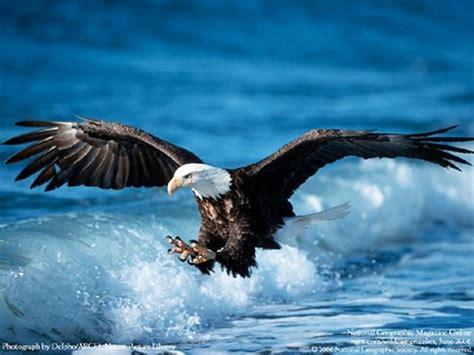 blue eagle wallpaper gallery