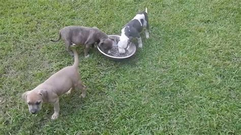 razors edge pitbull puppies razors edge greyline pitbull puppies 8 wks 2013