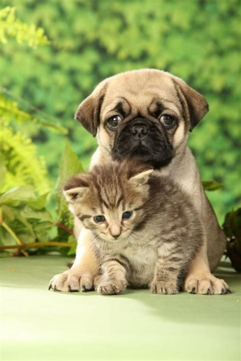 pugs and cats 17 best ideas about pug names on pugs images of pugs and black pug puppies