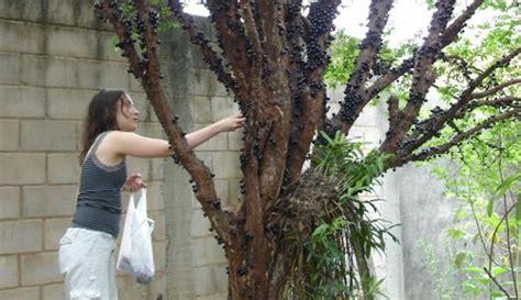 Pohon Buah Anggur Brazil uniknya buah anggur brazil yang tumbuh di batang pohon