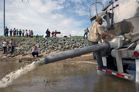 boat launch yuba city measures save young salmon after failure of oroville dam