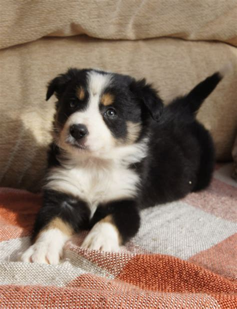 collie puppies for sale border collie puppies for sale motherwell lanarkshire pets4homes