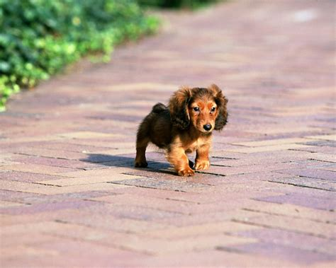 miniature puppies miniature dachshund puppies