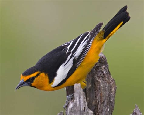 bullock s oriole audubon field guide
