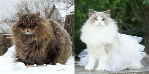 31  Fluffiest Cats in The World That Will Make You