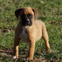 boxer puppies ma 1000 ideas about boxer puppies for sale on boxer dogs boxers and boxer