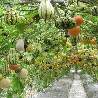 Watermelon Trellis 25 Best Ideas About Hanging Gardens On Pinterest Horta