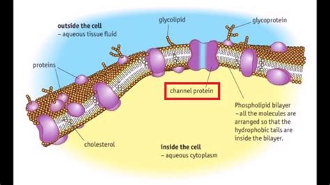components   cell surface membrane
