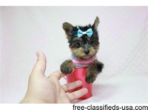 teacup yorkie nj akc reg teacup yorkie puppies animals lakewood new jersey announcement 39954