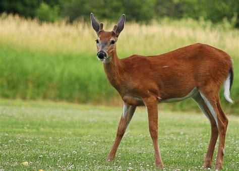 buck i buck deer ii by rinflorin on deviantart