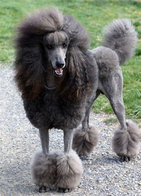 standard poodle puppy cut standard poodle with cut non sporting dogs we sports really