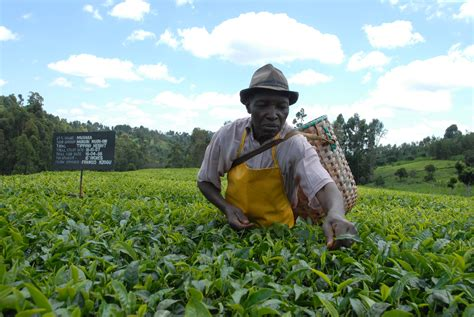 farmer s kenyan farmers