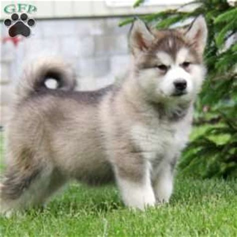 alaskan malamute puppies for sale in pa alaskan malamute puppies for sale greenfield puppies
