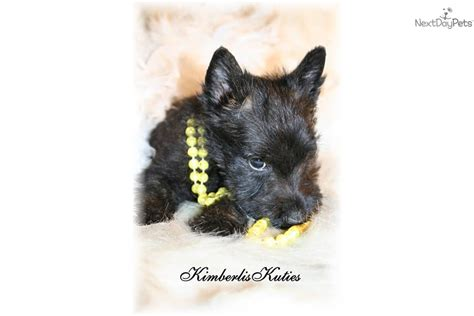 scottish terrier puppies for sale ohio meet black brindle a scottish terrier puppy for sale for 450 black brindle