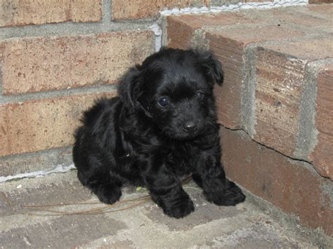 black yorkie poos pin black yorkie poo grown image search results on