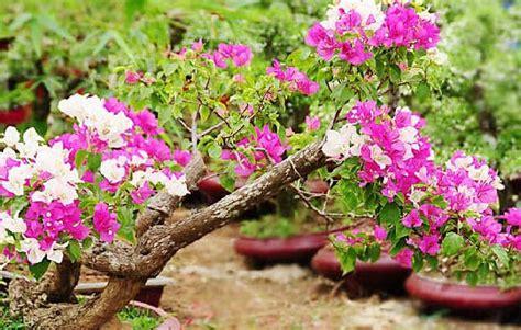 panduan  menanam bunga kertas bergambar gambar bunga