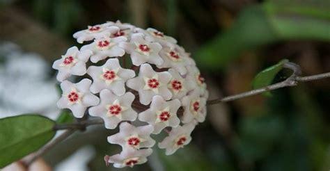 piante da appartamento con fiore fiore di cera pianta da appartamento blink project