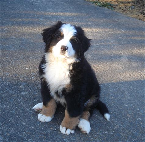 bernese mountain cost bernese mountain puppy images png