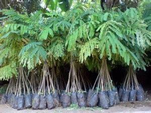 Bibit Sengon Albasia menanam pohon sengon pada lahan sempit di pinggir sawah