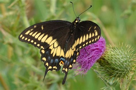 black swallowtail butterfly giant swallowtail butterfly papiliocresphontes pictures