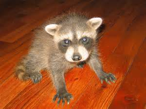what color are raccoons racoon photograph 034 the best eye color i ve seen yet
