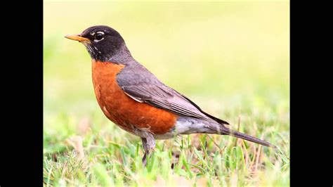 robin bird sound call and song funnydog tv
