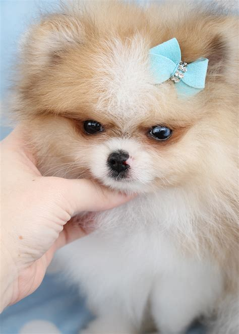 pomeranian in teacup pomeranian puppies for sale in miami ft lauderdale teacups puppies boutique