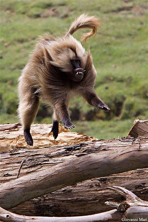 gelada baboon semien mountains ethiopia animals wild weird animals animals