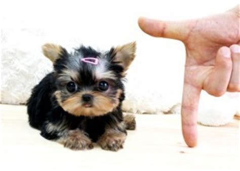 free yorkie puppies in tn pets murfreesboro tn free classified ads