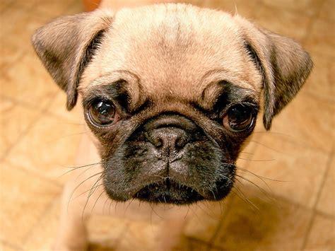 pug puppy image puppy dogs pug puppies