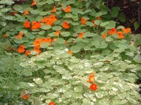 Flowers For Vegetable Garden Vegetable Gardens Flowers Veggie Gardening Tips