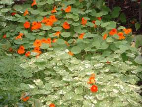 vegetable gardens have flowers too veggie gardening tips