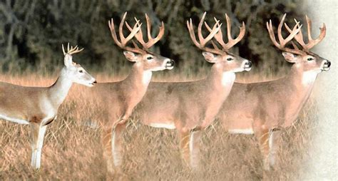how to buck 2 graphics to help you age a buck from your treestand