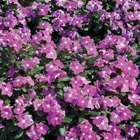 cora deep lavender vinca catharanthus roseus proven