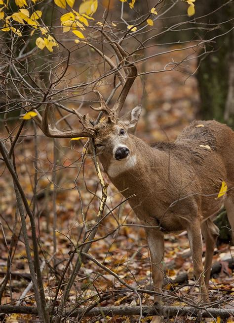 bucks and fishing 409 best whitetail deer images on white tailed